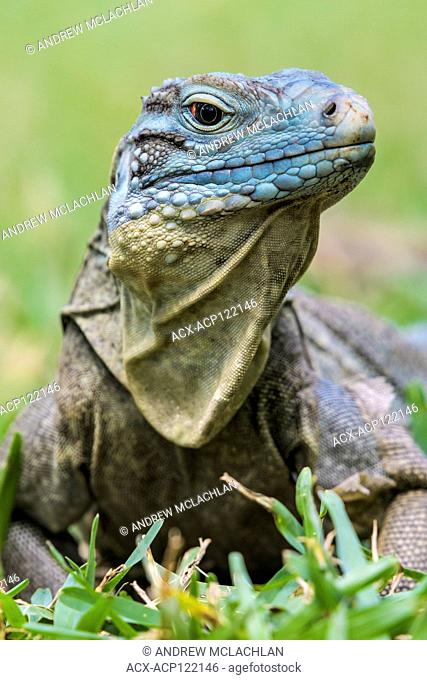 Critically endangered Blue Iguana (Cyclura lewisi) photographed in the wild on Grand Cayman, British West Indies