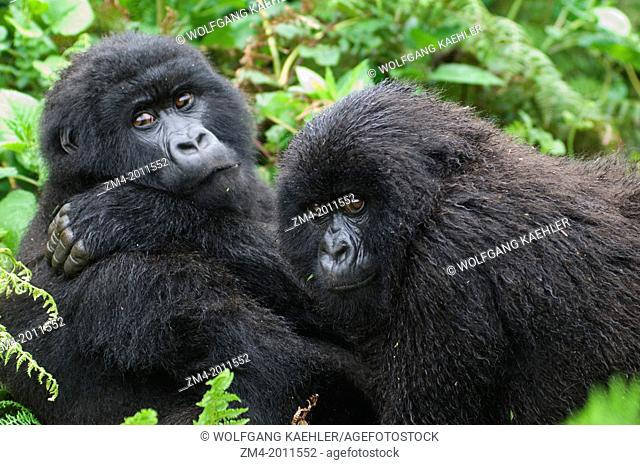 RWANDA, VOLCANO NATIONAL PARK, YOUNG MOUNTAIN GORILLAS (Gorilla gorilla beringei), SIBLINGS
