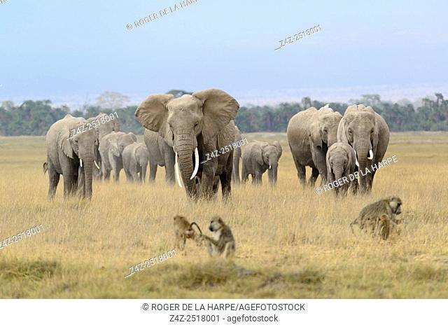 African bush elephant (Loxodonta africana) herd and Olive baboon or Anubis baboon (Papio anubis). Amboseli National Park. Kenya