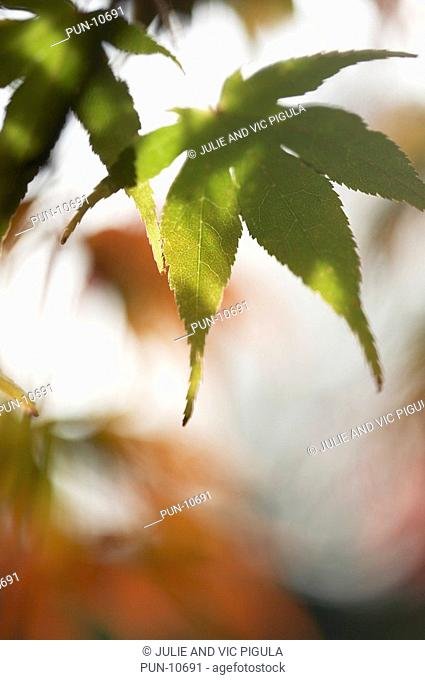 Close-up of green leaves of Acer Palmatum in spring