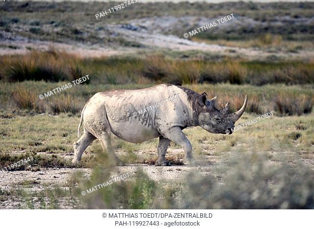 Black Rhinoceros in the Etosha National Park, taken on 05.03.2019. The Black Rhinoceros (Diceros bicornis) is an open savannah and the second largest rhinoceros...