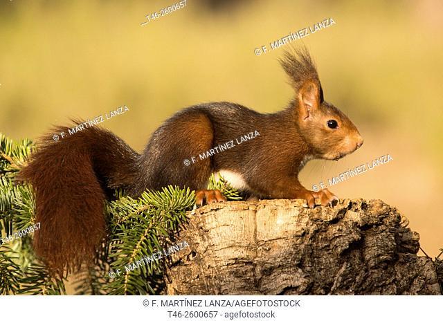 Red squirrel (Sciurus vulgaris). Motilla del Palancar, Cuenca province, Castile-La Mancha, Spain