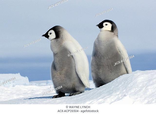 Young emperor penguin Aptenoytes forsteri chicks, Snow Hill Island, Weddell Sea, Antarctica