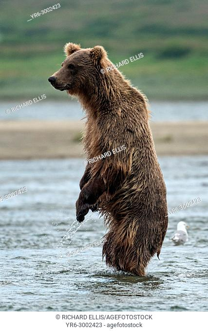 A brown bear sub-adult stands up for a better view during the search for salmon in the lower lagoon at the McNeil River State Game Sanctuary on the Kenai...