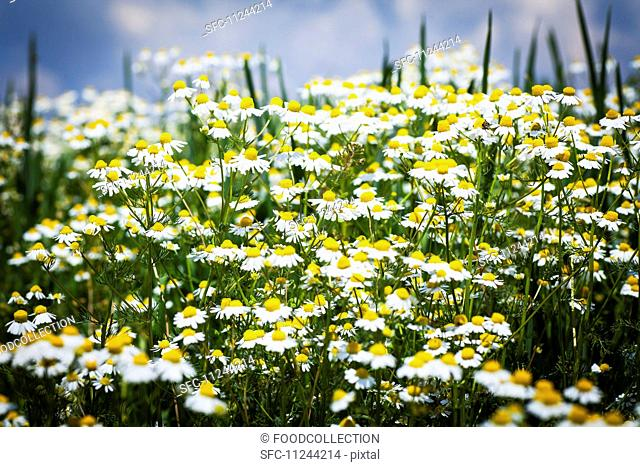 A field of camomile flowers