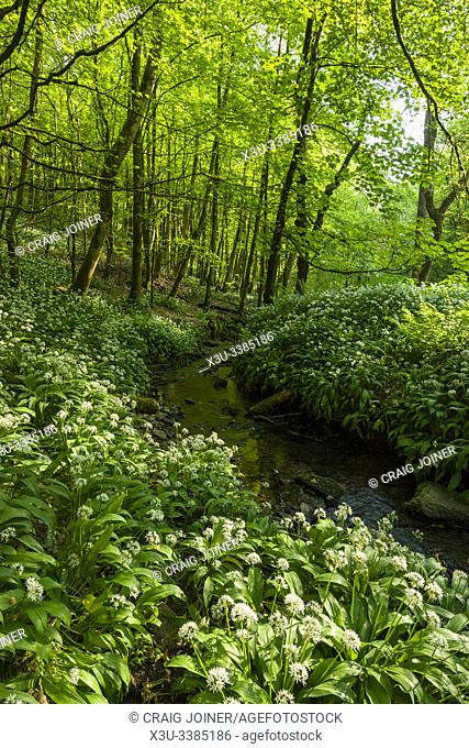 Ramsons in flower alongside a stream in Long Wood in the Mendip Hills Area of Outstanding Natural Beauty, Somerset, England