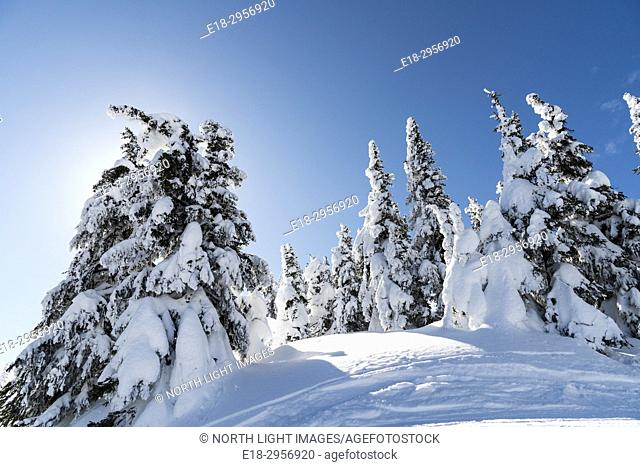 Canada, BC, Kamloops. Sun Peaks Ski Resort. Snow covered trees at the top of Todd Mountain