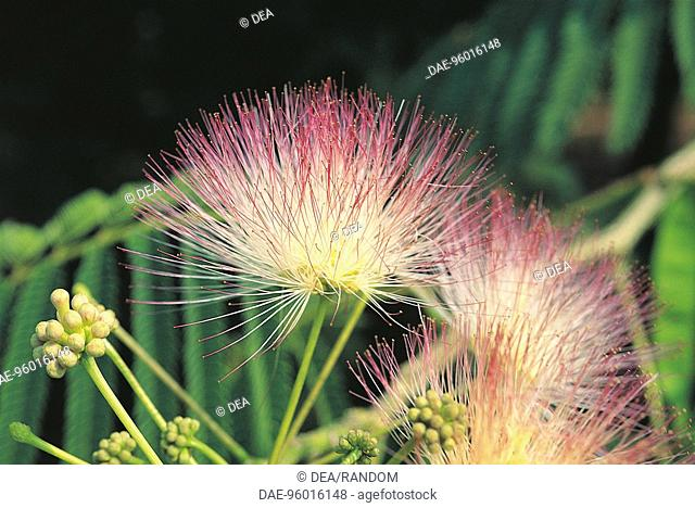 Botany - Trees - Fabaceae - Persian Silk Tree (Albizia julibrissin) foliage and flowers