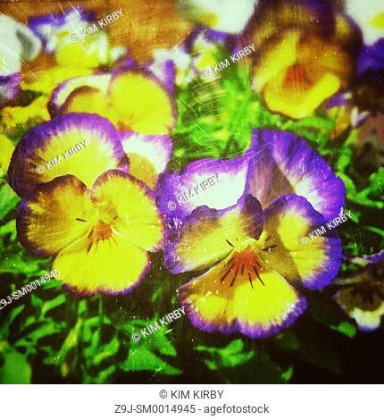 Close up of violas