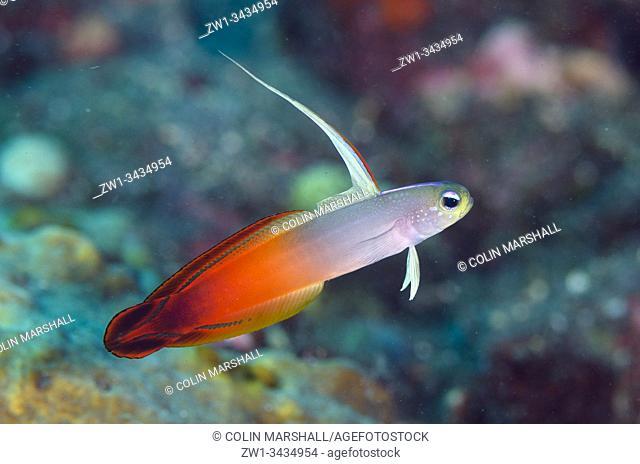 Fire Dartfish (Nemateleotris magnifica, Gobiidae Family) with extended dorsal fin, Dropoff dive site, Tulamben, Kubu district, Karangasem, Bali, Indonesia