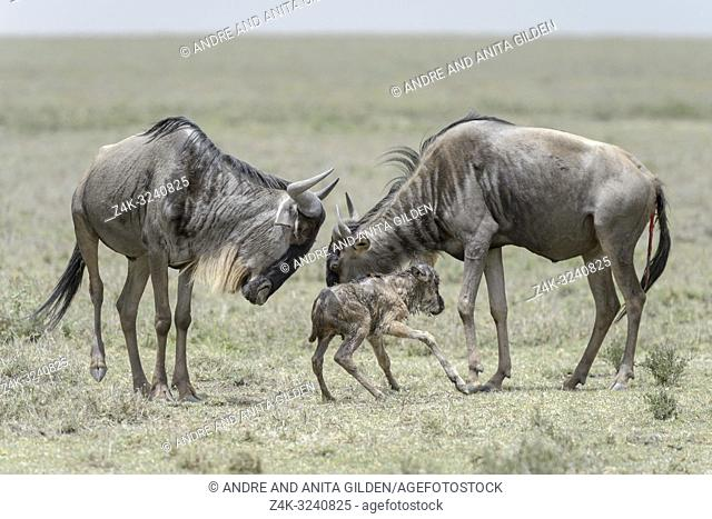 Blue Wildebeest (Connochaetes taurinus) mother and sister with a new born baby just trying to stand, Ngorongoro conservation area, Tanzania