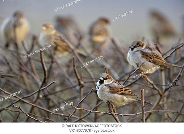 Mixed flock of House Sparrows ( Passer domesticus ) sitting on top of a hedge close to urban settlement, wildlife, Europe. .