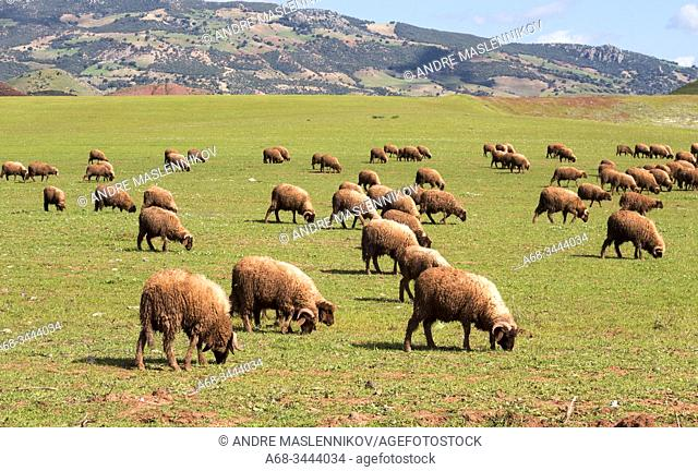 A shepherd raises his sheep on pasture in northern Morocco. . Photo: André Maslennikov