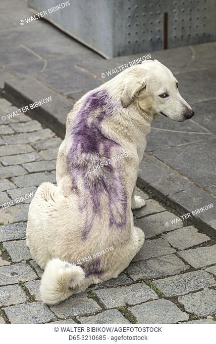 Georgia, Kakheti Area, Sighnaghi, dog with dog tattoo