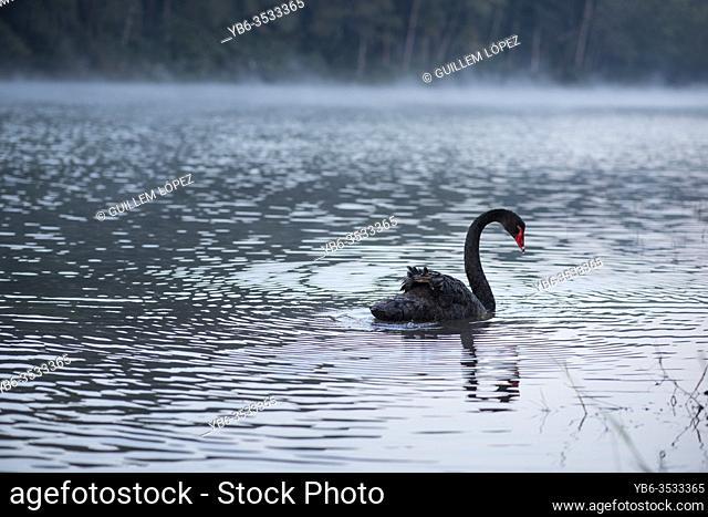 A Black Swan swimming at the Pang Ung Lake in Mae Hong Son, Thailand