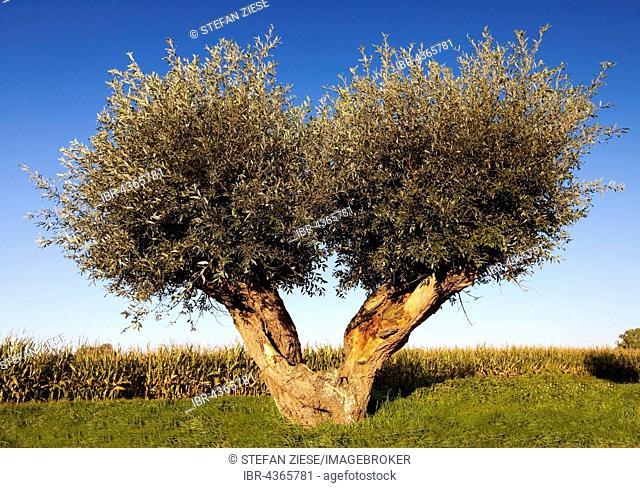 White willow tree (Salix alba), Rees, Lower Rhine, North Rhine-Westphalia, Germany