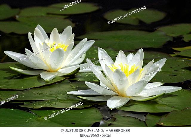 Flowering White Water Lily in a garden pond (Nymphaea alba)