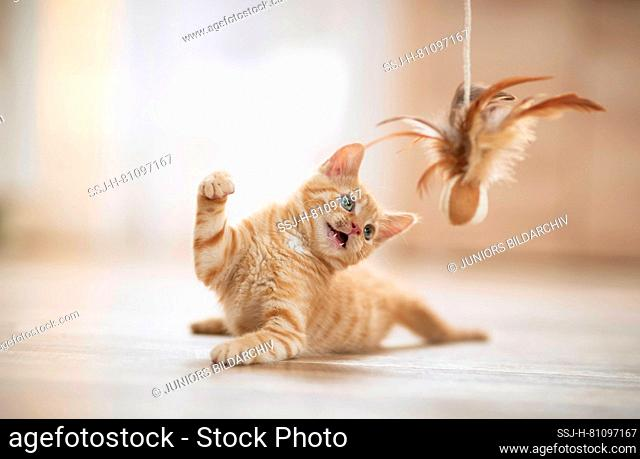 Domestic cat. Kitten playing with a feather teaser. Germany