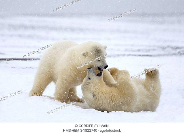 United States, Alaska, Arctic National Wildlife Refuge, Kaktovik, Polar Bear (Ursus maritimus), yearlings playing along a barrier island outside Kaktovik