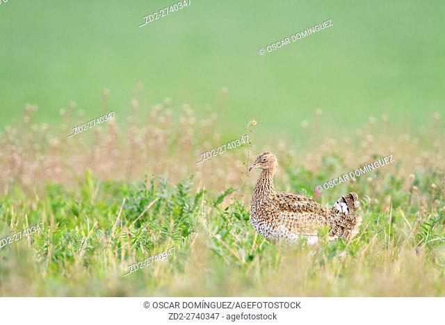 Little Bustard (Tetrax tetrax) female feeding on Shepherd's-Purse (Capsella bursa-pastoris). Lleida province. Catalonia. Spain
