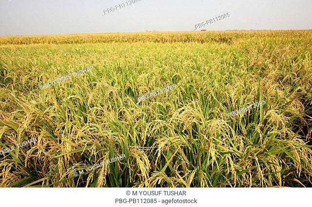 a paddy field in Rajshahi disrict of bangladesh