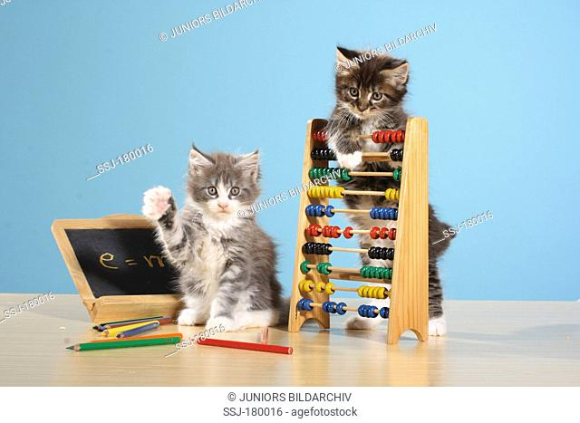 American Longhair, Maine Coon. Two kittens with blackboard and counting frame