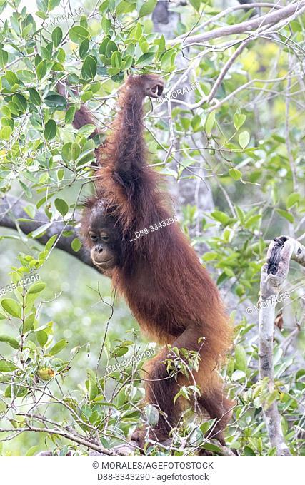Asia, Indonesia, Borneo, Tanjung Puting National Park, Bornean orangutan (Pongo pygmaeus pygmaeus), subadult