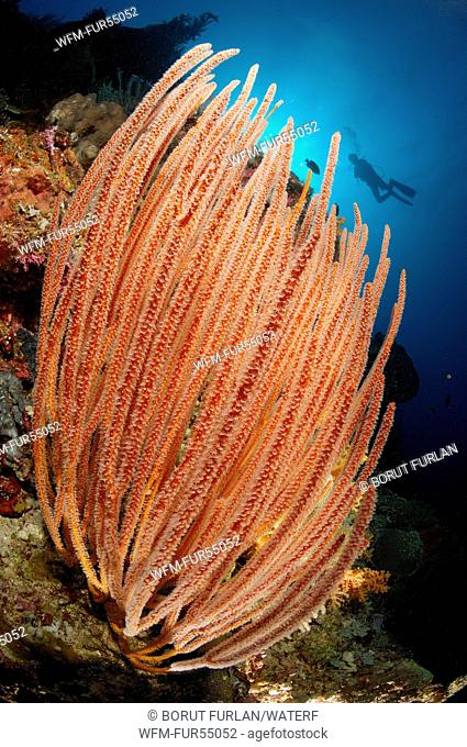Whip Corals in Reef, Ellisella ceratophyta, Bunaken, North Sulawesi, Indonesia