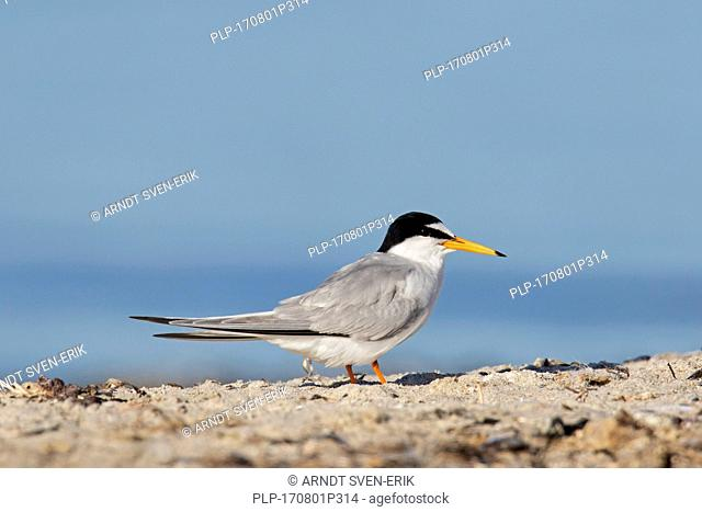 Little tern (Sternula albifrons / Sterna albifrons) on the beach in summer