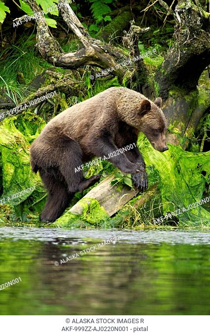 Young Brown Bear fishing along the shore, Tongass National Forest, Southeast Alaska, Summer