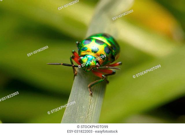 Rainbow shield bug holding grass