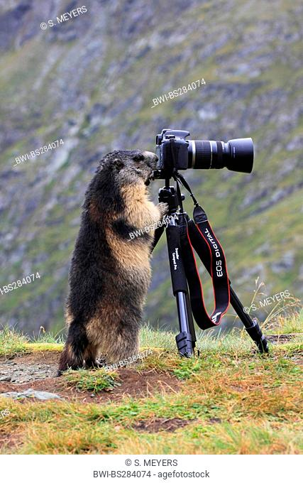 alpine marmot (Marmota marmota), marmot looking through the camera, Austria, Hohe Tauern National Park, Grossglockner