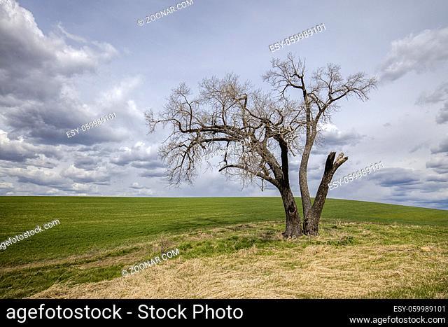 A lone barren tree stands by a farm field in the Palouse region of Washington