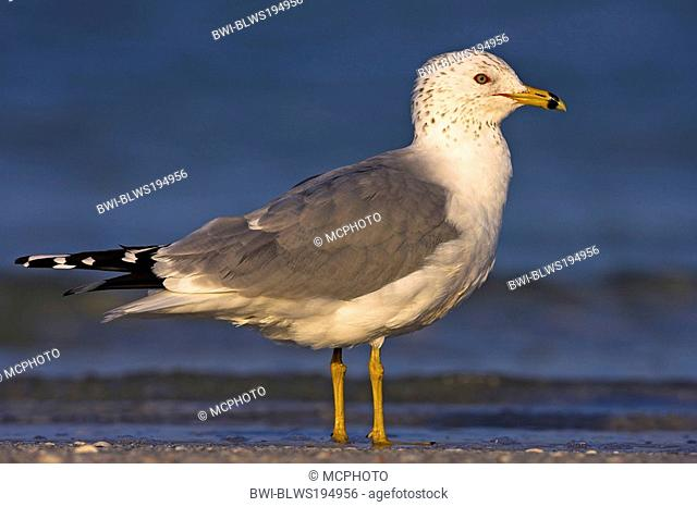 ring-billed gull Larus delawarensis, stands in shallow water, USA, Florida