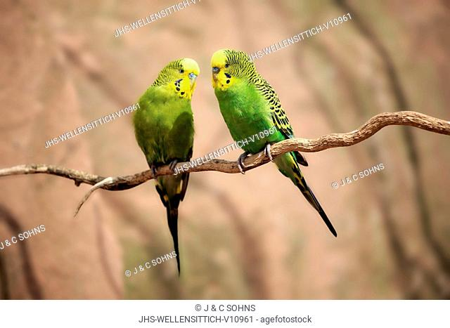 Budgerigar, (Melopsittacus undulatus), couple on tree, Australia