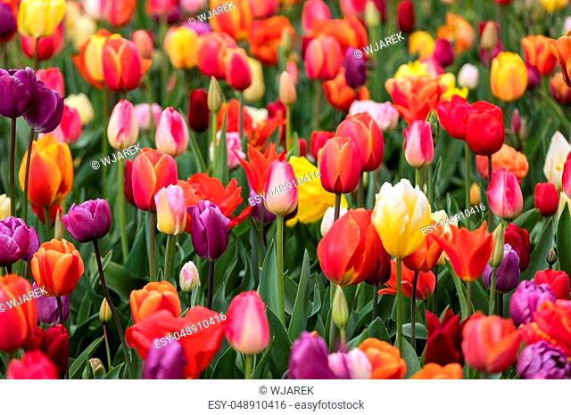 Abstract background. Colorful tulips flowers blooming in a park