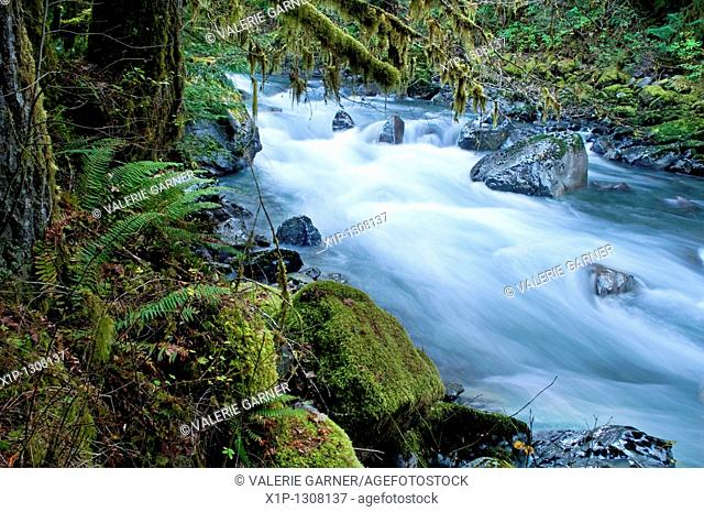 This beautiful nature image is a Pacific Northwest forest with a river running through over rocks with lots of moss hanging from trees and undergrowth ferns...