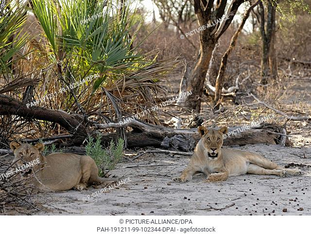29 November 2019, Namibia, Etosha-Nationalpark: Lions lie in the shade in Etosha National Park. Photo: Oliver Berg/dpa. - Etosha-Nationalpark/Namibia