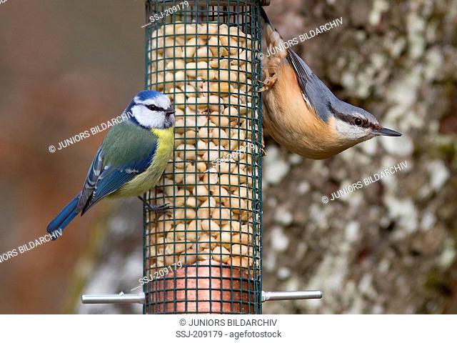 Blue Tit (Parus caerulus) and Nuthatch (Sitta europaea), at bird feeder. Germany