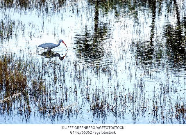 Florida, Merritt Island, Merritt Island National Wildlife Refuge, Black Point Wildlife Drive, ibis, wildlife, American white ibis, Eudocimus albus
