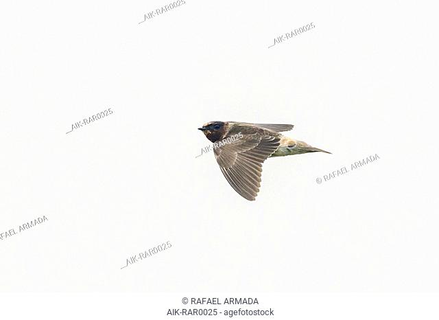 First-winter vagrant Cliff swallow (Petrochelidon pyrrhonota) flying over the isle of Corvo in Azores (Portugal), 6 October 2013
