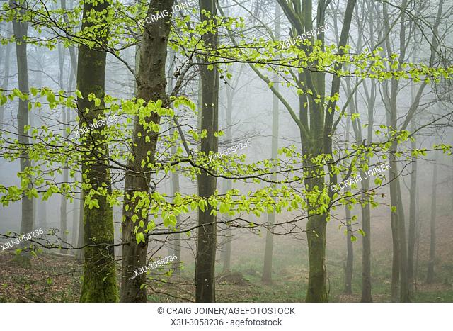 New growth on beech trees in a misty woodland. Mendip Hills, Somerset, England