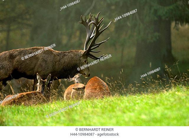 Red deer-rut