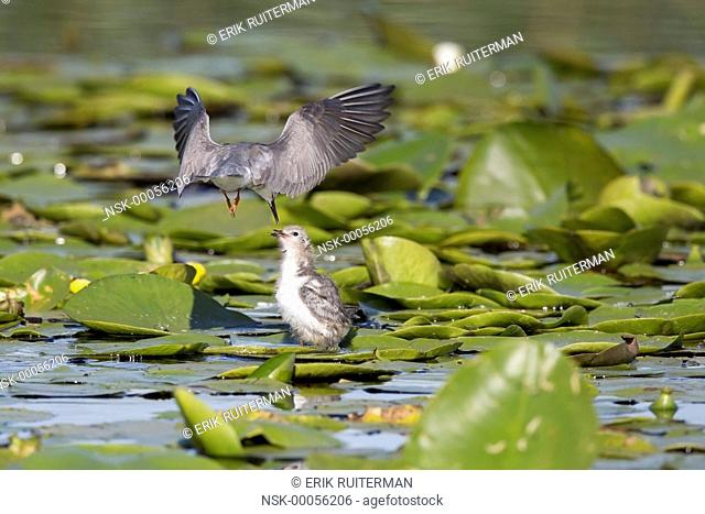 Black Tern (Chlidonias niger) feeding it's chick with unidentified Insect (Insecta sp.) in the middle of Yellow Water-lily (Nuphar lutea), The Netherlands