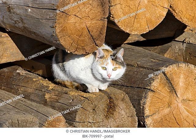 Cat sitting on a woodpile, Ramsau, Styria, Austria, Europe