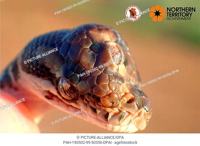 HANDOUT - 02 May 2019, Australia, Canberra: The undated picture shows a snake of the genus Rautenpython with an additional eye in the middle of the head