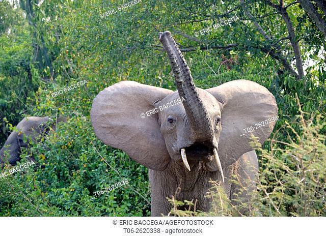 African Elephant (Loxodonta africana) raising trunk, Queen Elizabeth National Park, Uganda, Africa