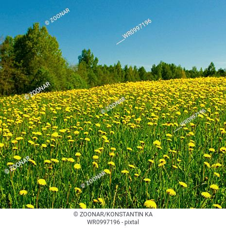 dandelion field and blue sky