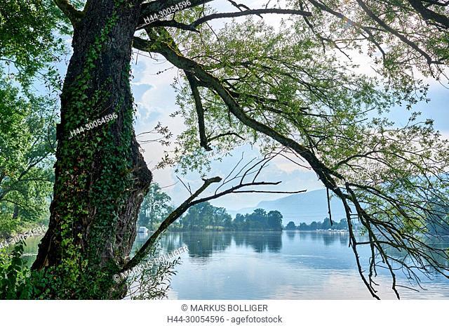 River, Aare, water, waters, silver pasture, Populus alba, tree, shore, wood, ivy, Hedera helix, bank wood