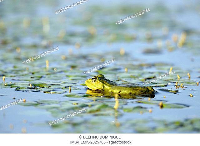 Romania, Danube Delta listed as World Heritage by UNESCO, green frog (Rana esculenta) in a lake in Danube